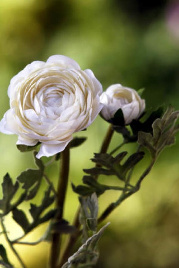 Ranunculus White.jpg