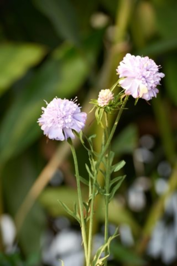 Scabious Lilac.jpg