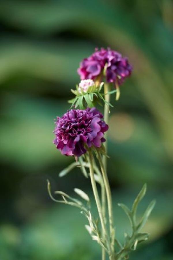 Scabious Purple.jpg