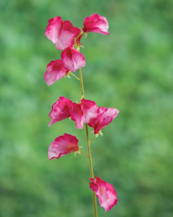 Sweet Pea Dark Pink.jpg