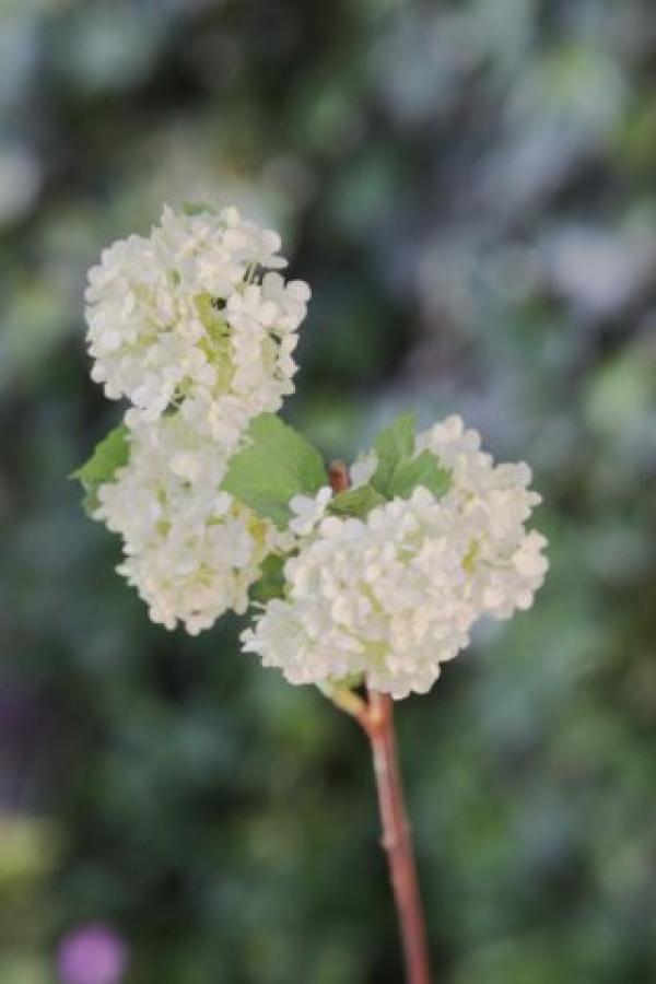 Viburnum Green-Cream.jpg